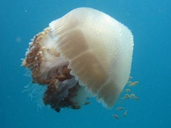 Beaches All Clear After Jellyfish Sightings