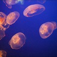 Causes of Jellyfish Swarms Revealed