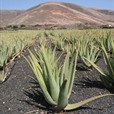 ALOE ALOE ALOE Fake Chinese Aloe Vera Rakes In €21m