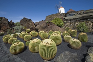 Barrel cacti at the Cactus Garden