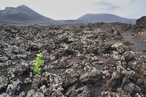 Vineyard in the volcanic region